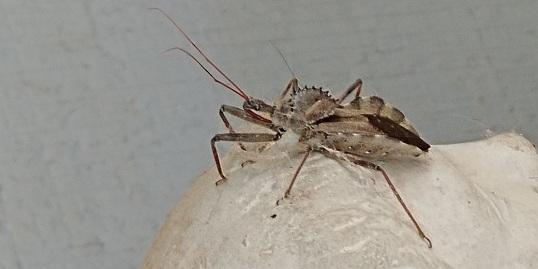 assasin bug-2